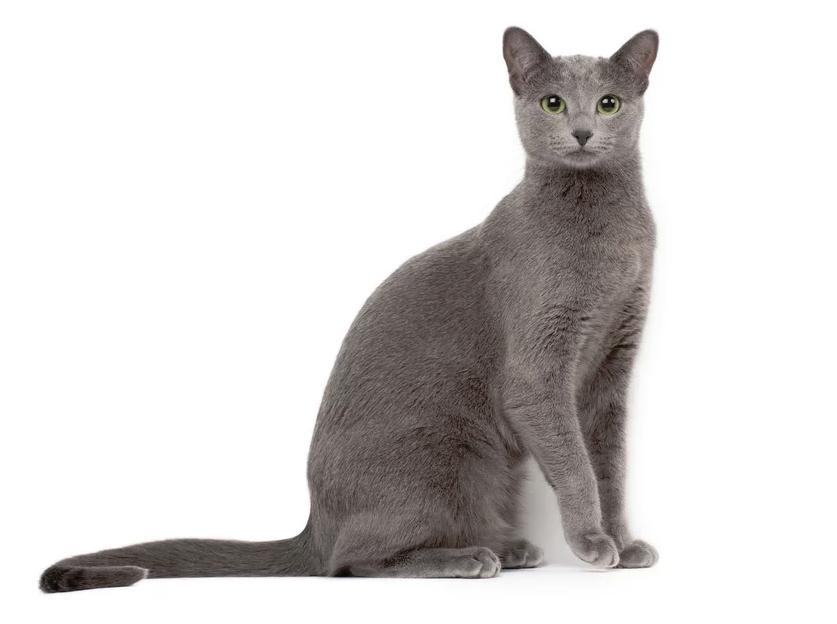 Race chat bleu russe les coussinets