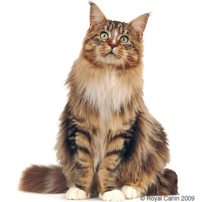 maine coon chat les coussinets