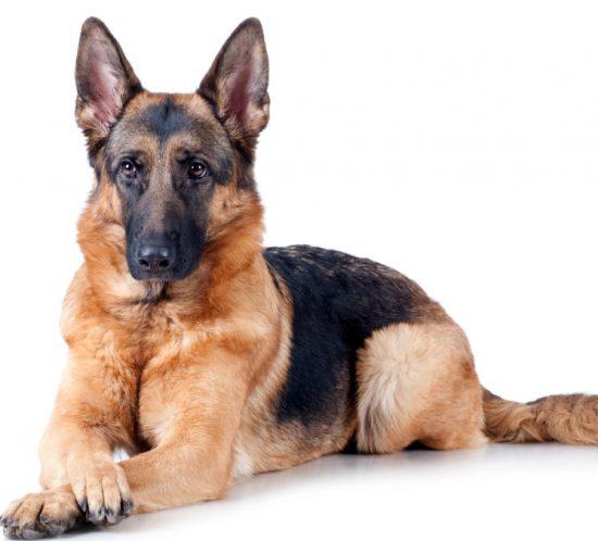 berger allemand chien