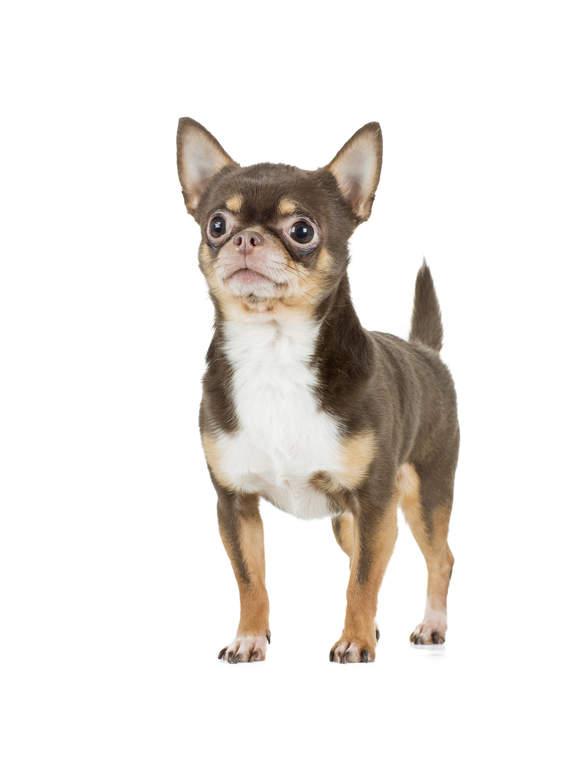 race chien chihuahua