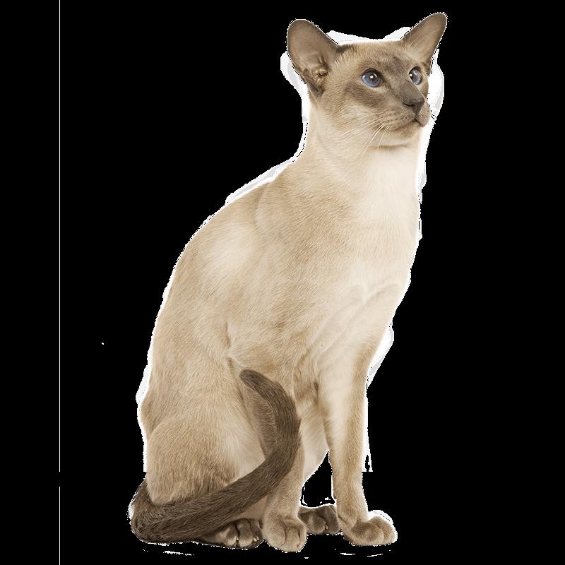 chat siamois les coussinets
