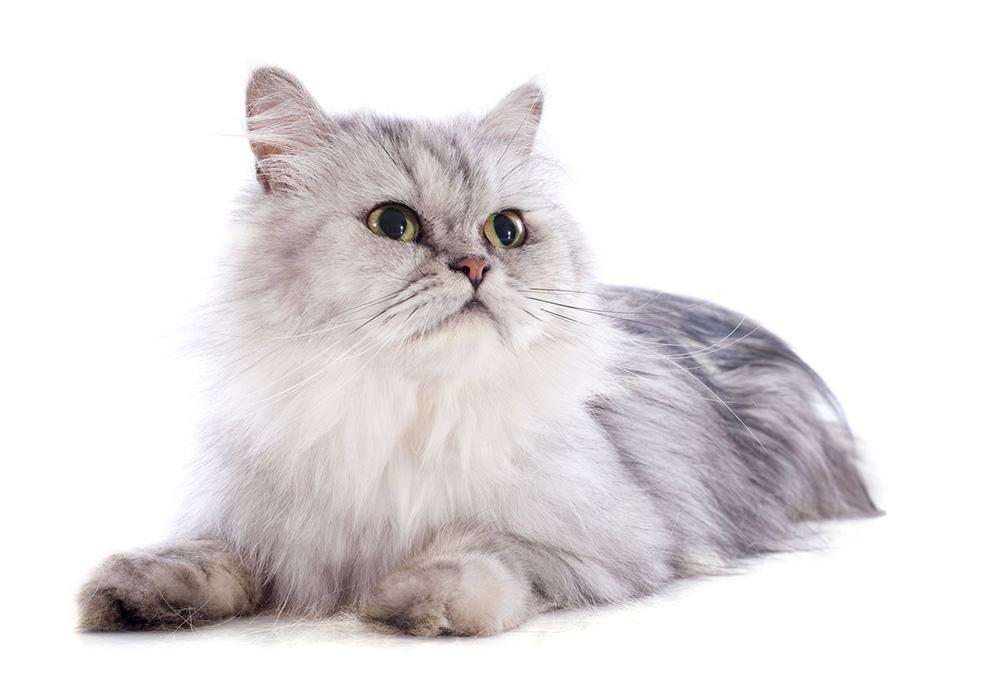 chat persan les coussinets