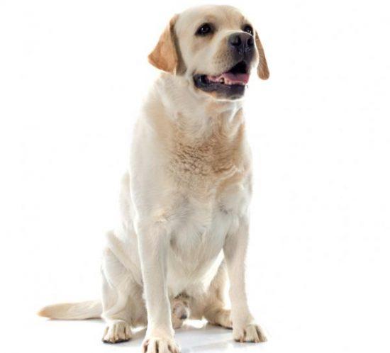 chien race labrador